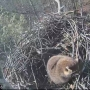 Eagle cam catches raccoon sleeping in nest at Platte River