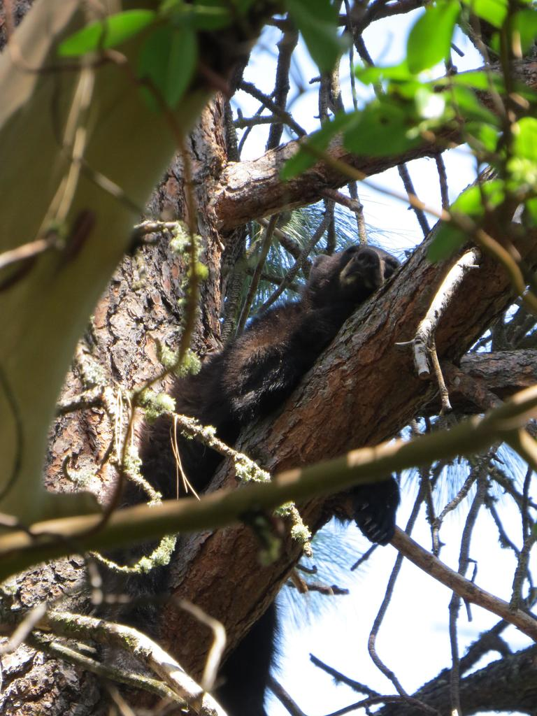 Sarah Bronson's photo of a cub lounging on a tree branch.