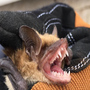 Bats getting into homes: what to do & how to prevent it