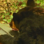 Black bear sightings are popping up in Carolina Forest