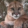 Mountain lion shot and killed near Bruneau Elementary School