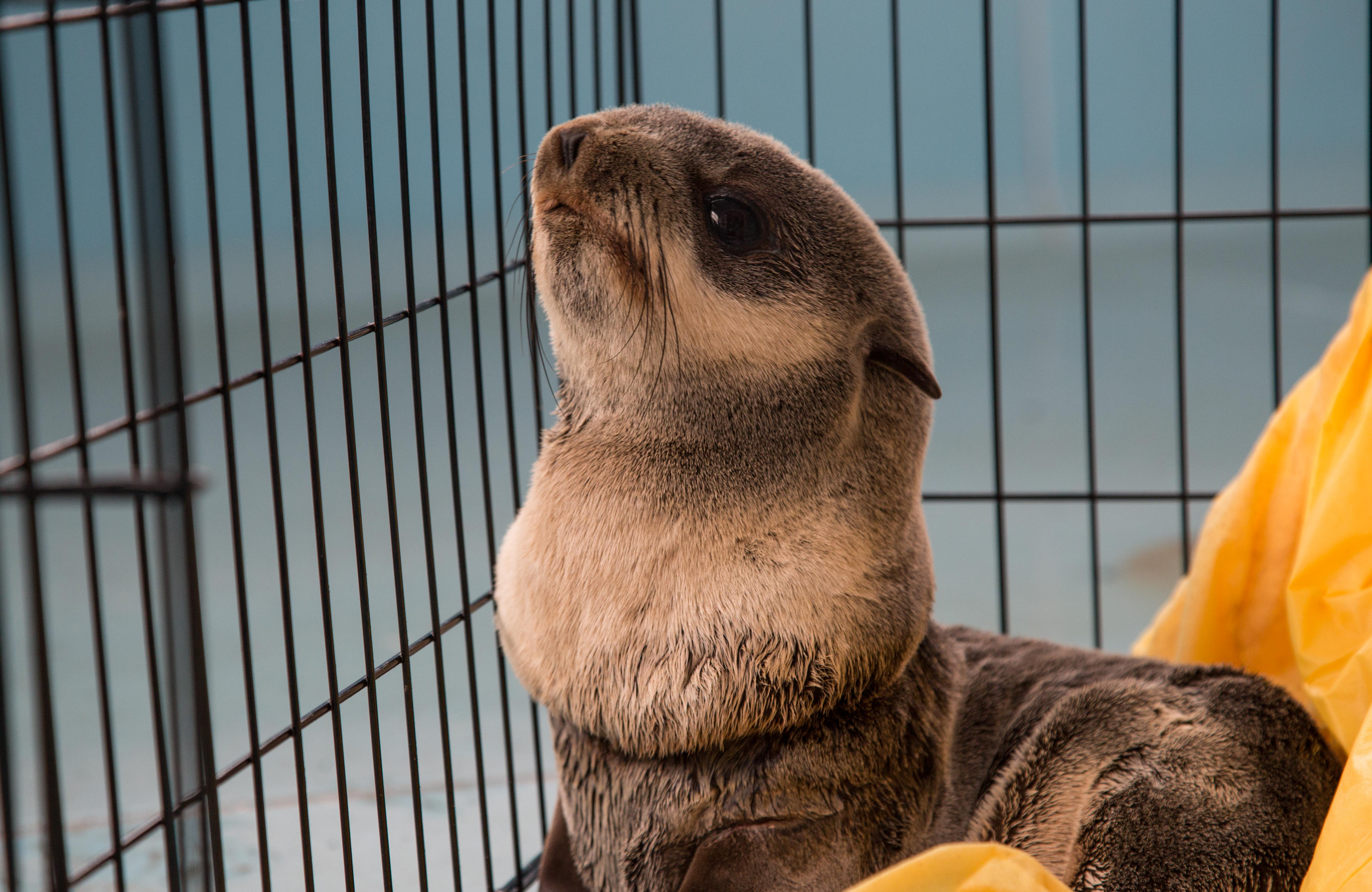 SMC-OCAq-Northern Fur Seal Rehab-2018-1-22-12.jpg
