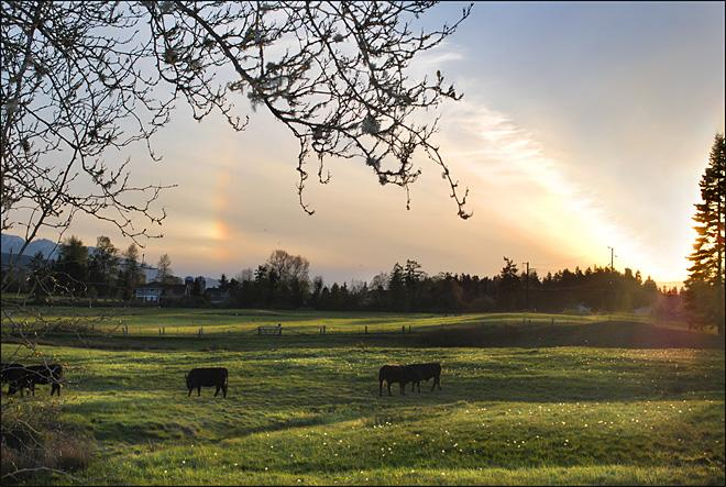 Cows and a sun dog (Photo courtesy YouNews contributor: patnmikes)