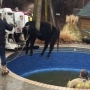WATCH: OKC firefighters rescue cow from metro swimming pool