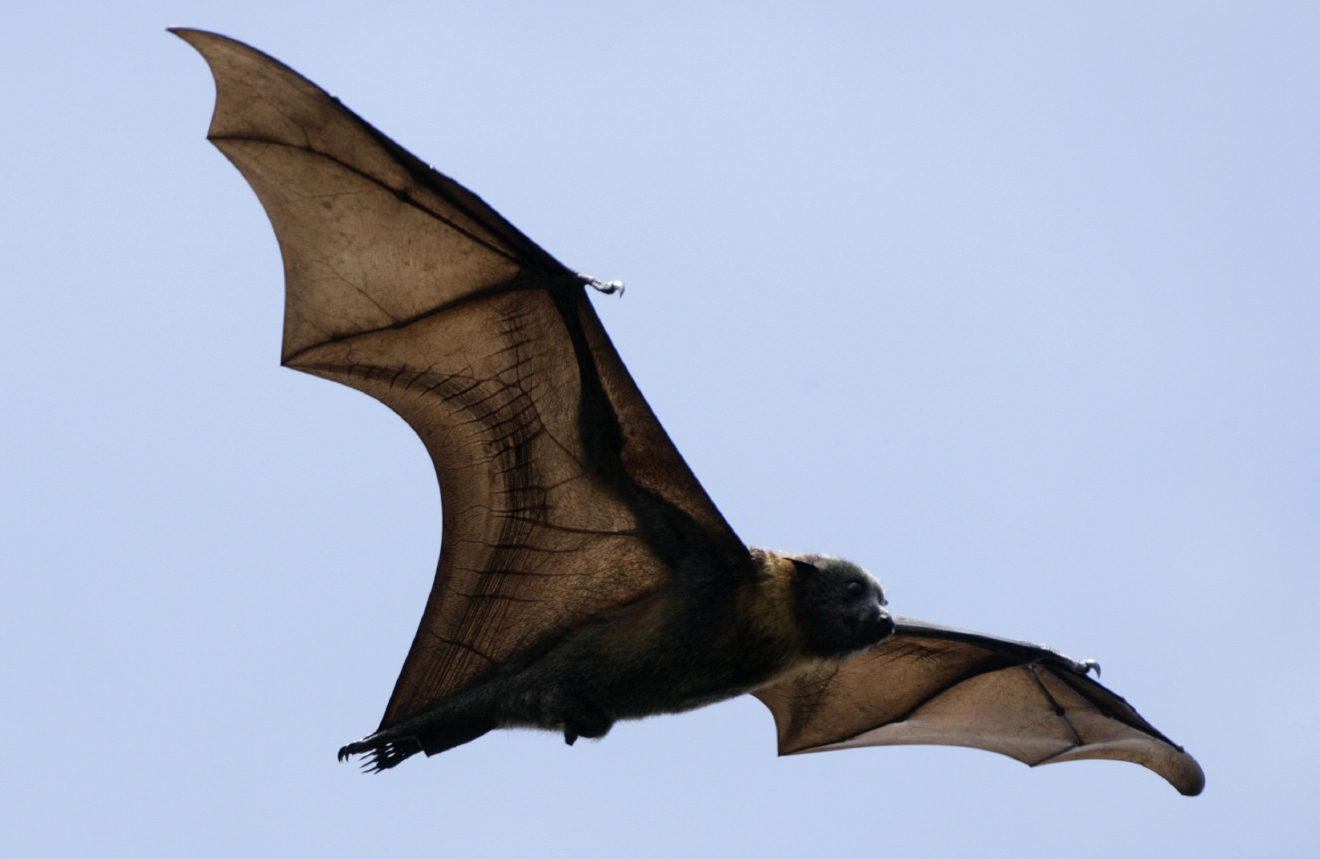 Australian Flying Fox Hands Flying foxes: A...