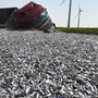 Germany: Truck tips over, floods field with fish