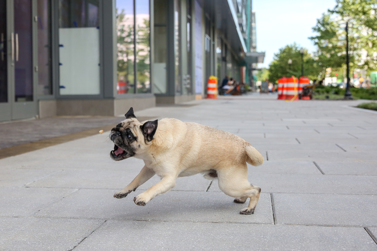 "Meet Mr. Butts, a five-year-old Pug who can -- wait for it -- SKATEBOARD! He loves fresh bread, giving kisses, sleeping with his head on dad's head and hanging out at coffee shops. He is a fancy pug who gets to ride in a Babybjörn when the fam goes biking. Mr. Butts is also surprisingly agile and can walk on balance beams. But his best ""trick"" according to dad is his great behavior at cafes. He will sit on a chair or bench during meals and not jump off to steal food or play with any distractions. Trust us, you are going to want to keep up with this fellow so follow him on Instagram @mrbuttsdc. If you or someone you know has a pet you'd like featured, email us at dcrefined@gmail.com or tag #DCRUFFined and your furbaby could be the next spotlighted! (Image: Amanda Andrade-Rhoades/ DC Refined)"