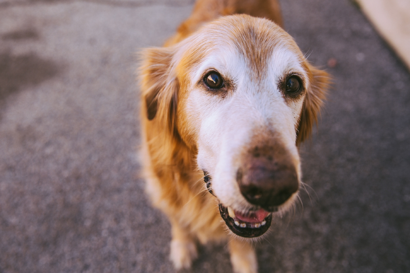 """Brownie the Oldie Goldie"" is our Seattle RUFFined spotlight this week! Brownie is 12 years old or 84 years in dog years. He loves belly rubs, all foods, grass and car rides while he hates when people holds his paws, having his nails filed, getting yelled at, and his dreaded cone. The Seattle RUFFined Spotlight is a weekly profile of local pets living and loving life in the PNW. If you or someone you know has a pet you'd like featured, email us at hello@seattlerefined.com or tag #SeattleRUFFined and your furbaby could be the next spotlighted! (Image: Joshua Lewis / Seattle Refined)"