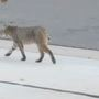 Woman charged by bobcat while walking dog in Edmond park