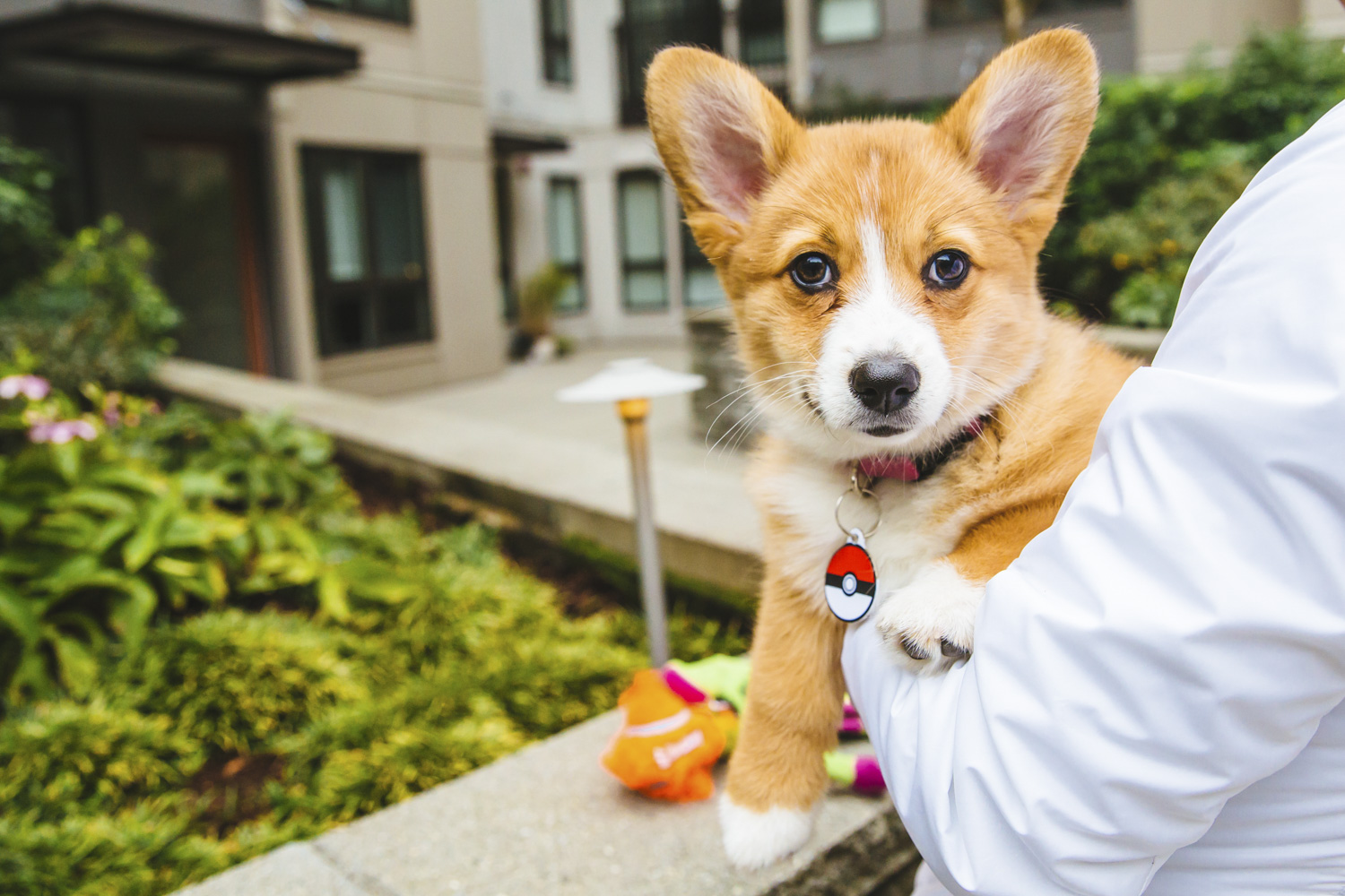 <p>How cute is Eevee! Eevee is short for Evangeline Thunderstone Magnolia which is like the best name ever, right? Eevee is a four month old Pembroke Welsh Corgi who is living the dream in the Capitol Hill neighborhood. Eevee likes chewing on bully stick, chicken and cheese, getting the zoomies and making her human chase her around the house, meeting new dogs and people. She dislikes going down stairs, hearing loud noises and getting nail trims. You can follow Eevee's journey through life on her instagram account, @eevee.corgi.{&amp;nbsp;}The Seattle RUFFined Spotlight is a weekly profile of local pets living and loving life in the PNW. If you or someone you know has a pet you'd like featured, email us at hello@seattlerefined.com or tag #SeattleRUFFined and your furbaby could be the next spotlighted! (Image: Sunita Martini / Seattle Refined).</p>
