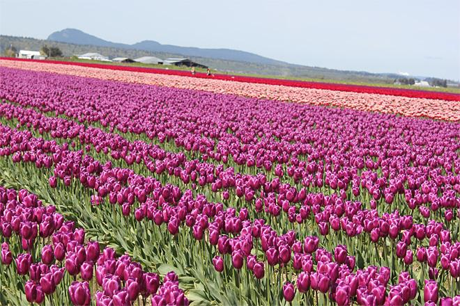 Tulips in Skagit County (Photo courtesy YouNews contributor: brendasue)